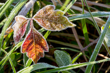 Close up of frosty red poison ivy leaves - AURF06007