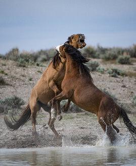 Wild horses fighting at watering hold at Sand Wash Basin, USA - AURF06103
