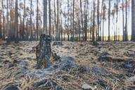 Germany, Brandenburg, Beelitz, Pine Forest, slash and burn - ASCF00879