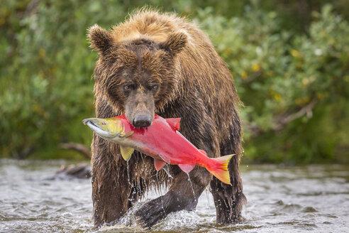 Alaska Peninsula brown bear (Ursus arctos horribilis) with freshly caught salmon, Katmai National Park and Preserve, Alaska, USA - AURF06524