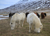 Icelandic Horses in the Oxnadalur valley, Iceland - AURF06928
