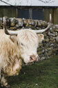 Portrait of highland cow standing in front of stone wall and looking at camera, Scotland, UK - AURF07243