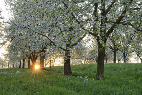 Germany, Baden-Wuerttemberg, Cherry trees at blossom with sunrays near sunrise at backlight in spring - RUEF01959
