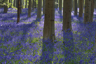 belgium, Flemish Brabant, Halle, Hallerbos, Bluebell flowers, Hyacinthoides non-scripta, beech forest in early spring - RUEF01992