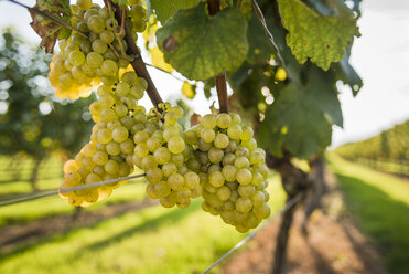 White grapes in vineyard, Sakonnet, Rhode Island, USA - AURF07379
