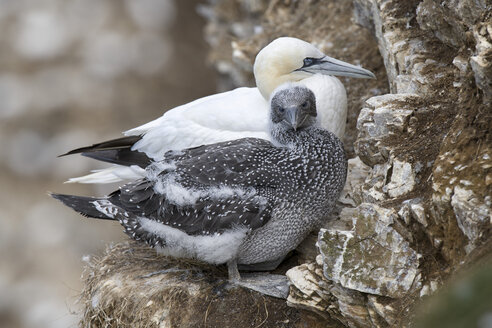 Scotland, Northern gannet with chick - MJOF01569