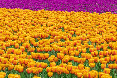 USA, Washington State, Skagit Valley, tulip field - MMAF00584