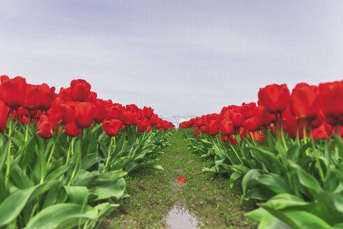 USA, Washington State, Skagit Valley, tulip field - MMAF00587