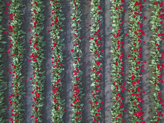 USA, Washington State, Skagit Valley, tulip field from above - MMAF00602