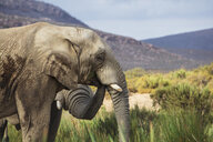 South Africa, Aquila Private Game Reserve Elephant, Loxodonta Africana - ZEF15975