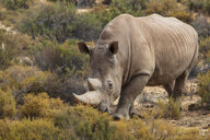 South Africa, Touws River, Cape Town, Aquila Private Game Reserve, Rhino, Rhinoceros - ZEF15978