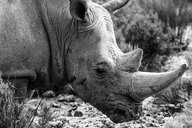 South Africa, Touws River, Cape Town, Aquila Private Game Reserve, Rhino, Rhinoceros - ZEF15981