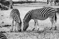 South Africa, Aquila Private Game Reserve, Zebras eating, Equus quagga - ZEF15984