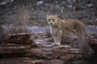 South Africa, Aquila Private Game Reserve, Lioness, Panthera leo - ZEF15999