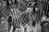South Africa, Aquila Private Game Reserve, Zebras, Equus quagga - ZEF16002