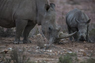 South Africa, Aquila Private Game Reserve, Rhino and baby rhino, Rhinoceros - ZEF16005