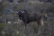 South Africa, Aquila Private Game Reserve, Gnu - ZEF16020