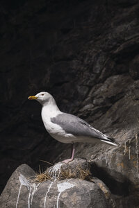 Norway, Lapland, Seagull resting on a rock - KKAF02303
