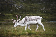 Norway, Lapland, Male reindeer grazing - KKAF02306