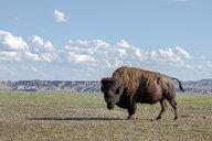 Portrait of American bison Bison bison standing in Badlands National Park, South Dakota, USA - AURF07650