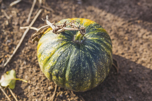 Single pumpkin on a field - ASCF00886