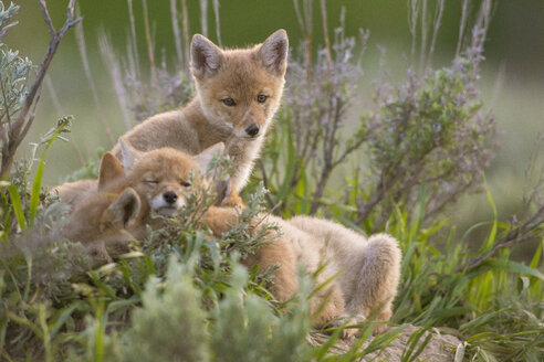Three coyote pups resting in grass, Jackson Hole, Wyoming, USA - AURF07696