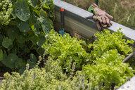 Vegetable growing in raised bed - JUNF01451