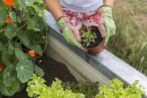 Close-up of woman gardening at raised bed - JUNF01463