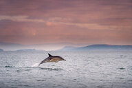 Common dolphin (Delphinus), porpoising, Blasket Islands, Dingle, Kerry, Ireland - CUF44847