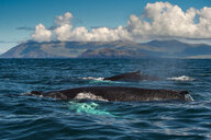 Two Humpback whales (Megaptera novaeangliae), swimming together, Dingle, Kerry, Ireland - CUF44850