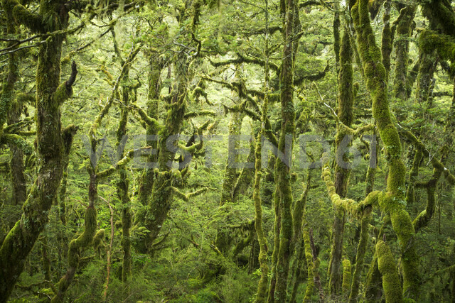 Moss covered forest on Routeburn Track in New Zealand - LUXF00499