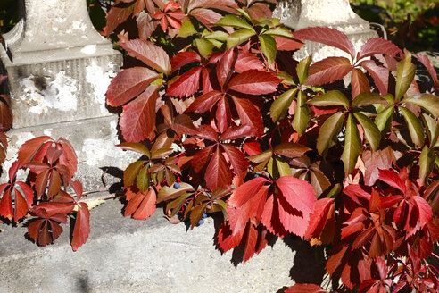 Virginia creeper in autumn - JTF01094
