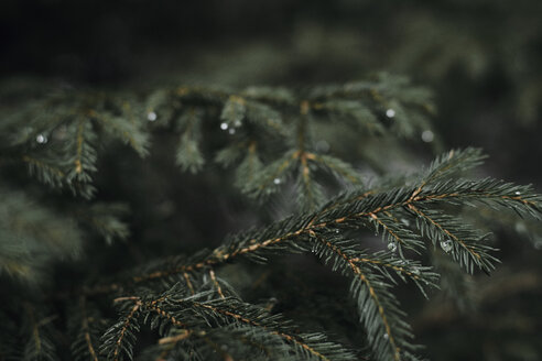 Bulgaria, Vitosha, Pine tree after rain, pine twigs - BZF00467