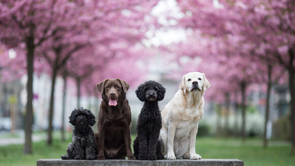 4 cute dogs sitting in the park - INGF00076