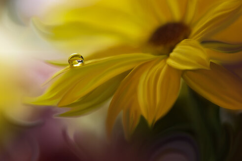 Close-up of a water droplet on a fresh yellow flowering plant - INGF00103