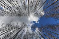 Germany, Brandenburg, Treuenbrietzen, Forest after forest fire, worm's eye view - ASCF00898