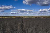 Germany, Brandenburg, Treuenbrietzen, Forest after forest fire - ASCF00901