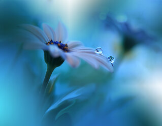 Close-up of a water droplet on a fragile blue flower - INGF00321