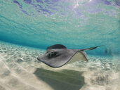 Stingray swimming underwater, Stingray City, Grand Cayman, Cayman Islands - FSIF03193