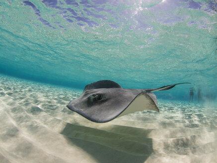 Stingray swimming underwater, Stingray City, Grand Cayman, Cayman Islands - FSIF03193