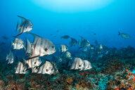 Atlantic spadefish around reef, Puerto Morelos, Quintana Roo, Mexico - CUF45618
