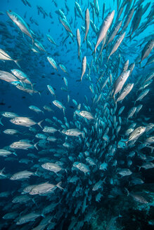 School of jack fish, Puntarenas, Costa Rica - CUF45711