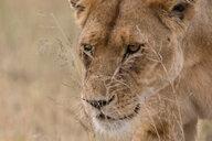 Close up portrait of a lioness (Panthera leo) walking, Seronera, Serengeti National Park, Tanzania - CUF45840