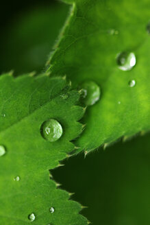 Close-up of water dropping onto a green leaf - INGF00769