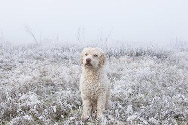 Portrait labradoodle in snowy field - FSIF03352