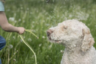 Dandelion seeds blowing on labradoodle - FSIF03361