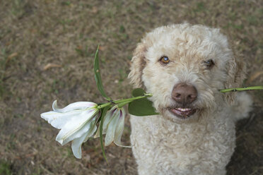 Portrait labradoodle holding white lily flower - FSIF03373