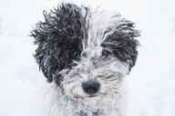 Close up portrait cute dog in snow - FSIF03382