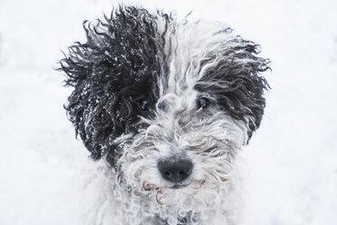 Close up portrait cute dog in snow - FSIF03382