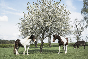 Brown and white horses under sunny spring apple blossom tree - FSIF03385